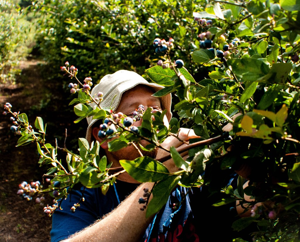 Scatter picking blueberries
