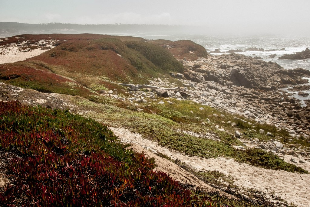 Red ice plant growing along the dunes