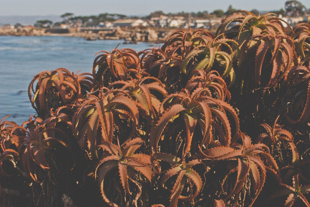 Red aloe bushes