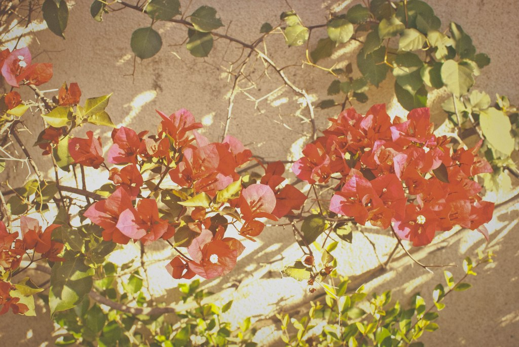 I just love all the bougainvillea