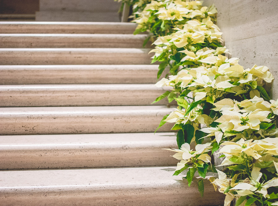 White poinsettias lined up on the marble staircase