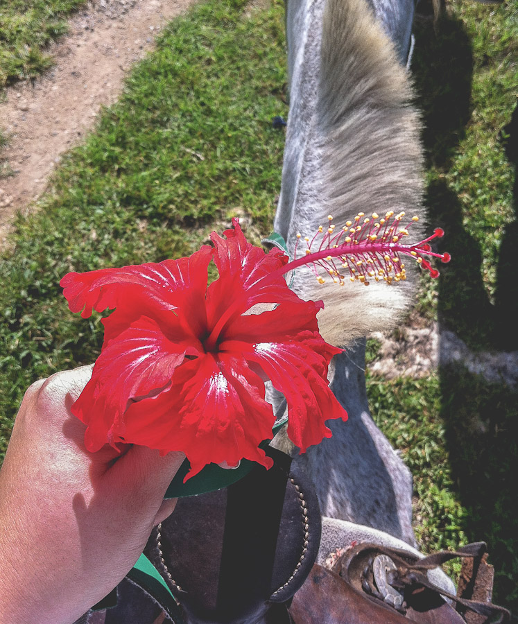 Hibiscus flower on horseback