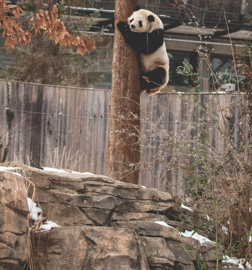 Tian Tian hanging out