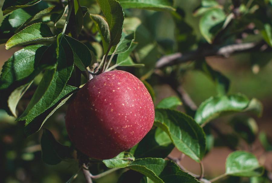 2014.Apples.5