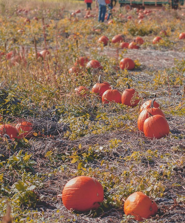 2014.Pumpkins.5