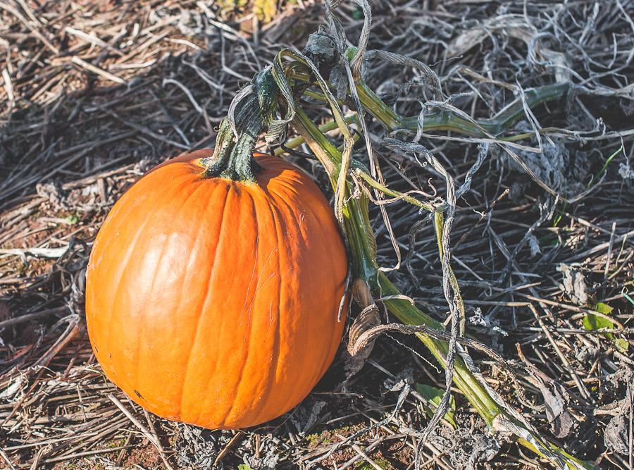 2014.Pumpkins.4
